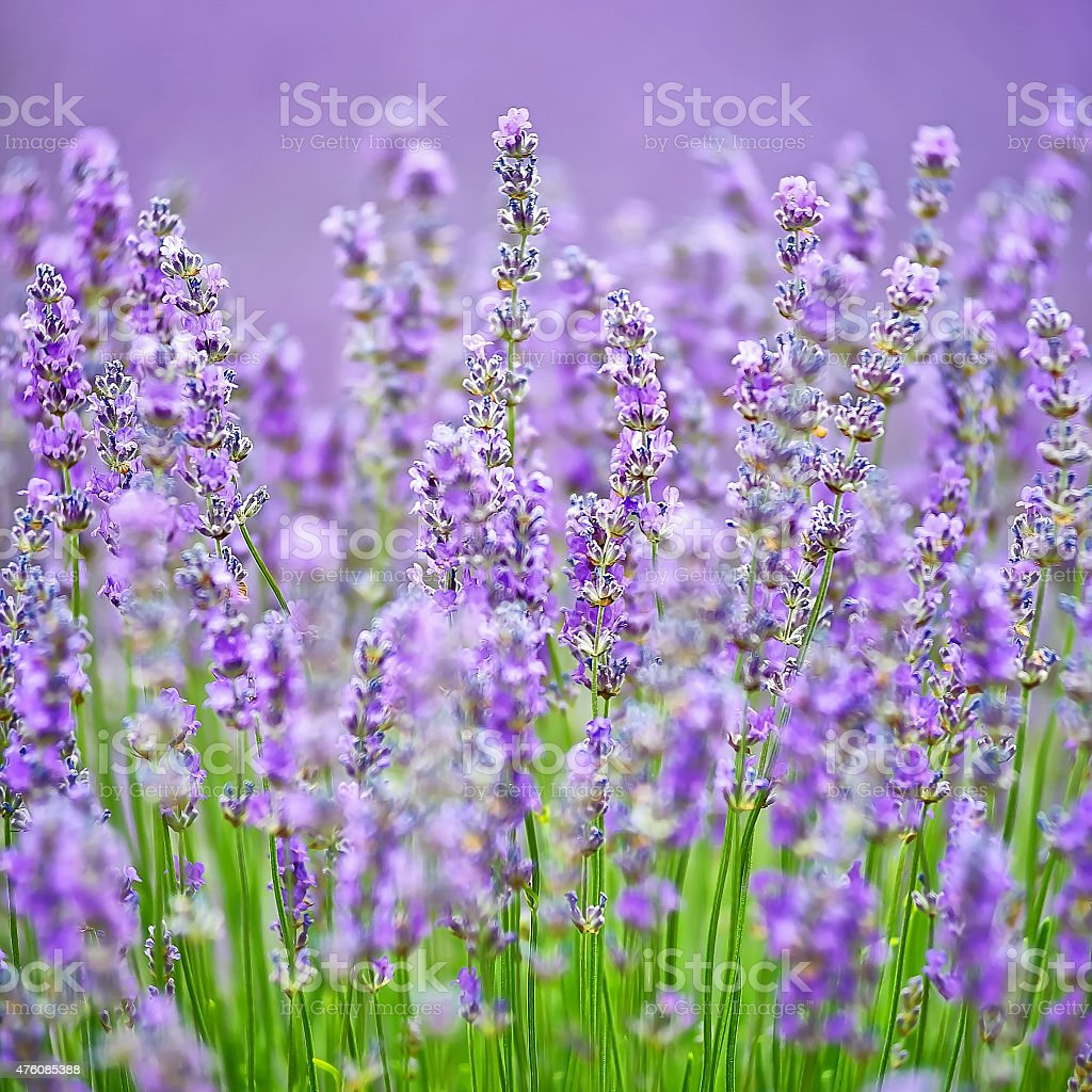 Blooming lavender, Valensole, France. stock photo