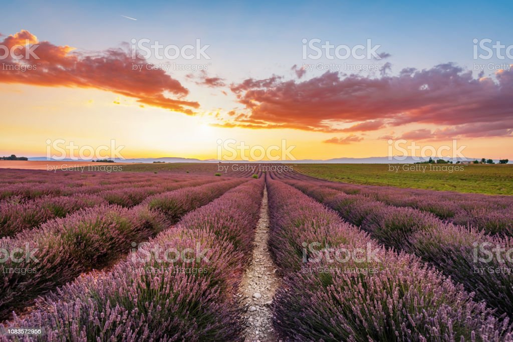 Blooming Lavender Valensole Sunset France royalty-free stock photo