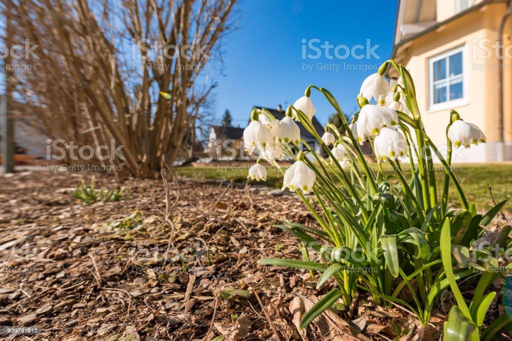 Leucojum Vernum Blumen im Garten im Frühjahr vor Bäumen und blauen Himmel – Foto