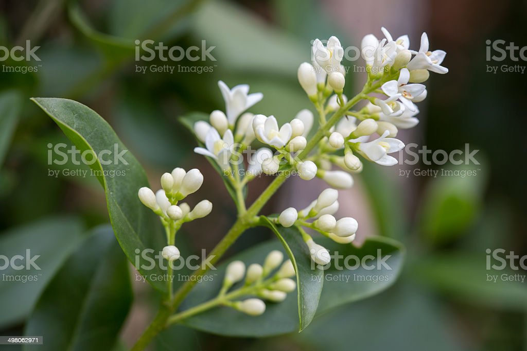 Blooming Ligustrum Vulgare closeup stock photo