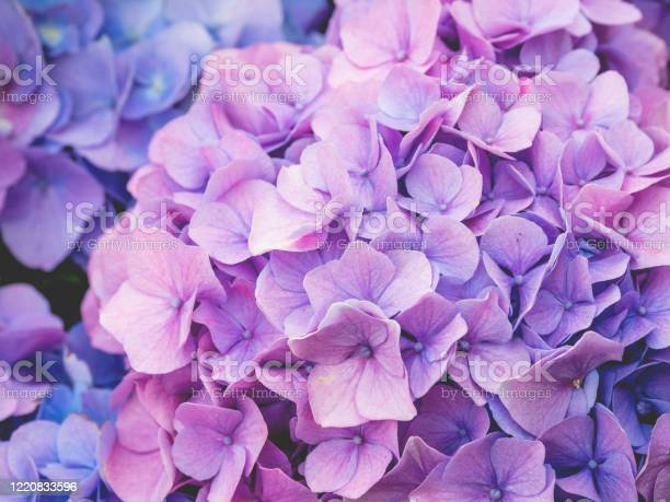 Photo of Blooming lilac and light blue hydrangea flowers. Close up photo of beautiful flowers in garden.