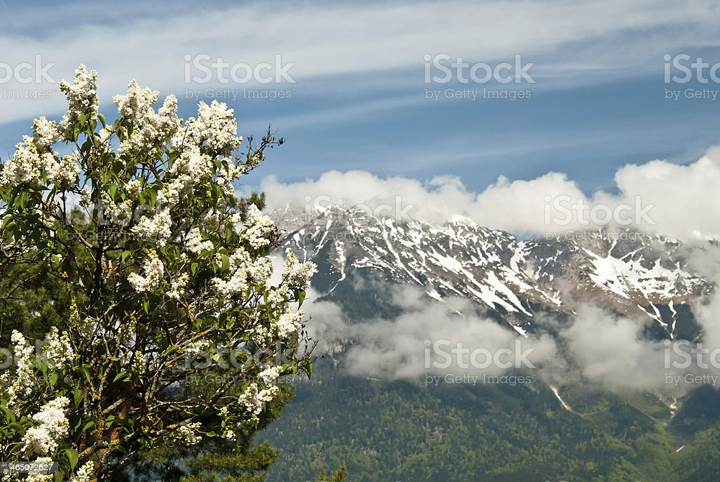 blooming lilac on a background of mountains royalty-free stock photo
