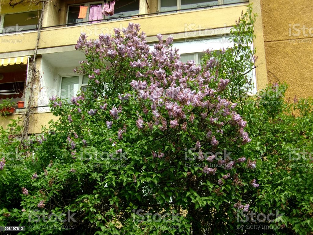 1003- Blooming Lilac shrubs in a frontyard stock photo