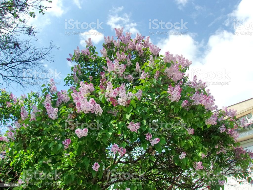 01- Blooming Lilac shrubs in a frontyard stock photo