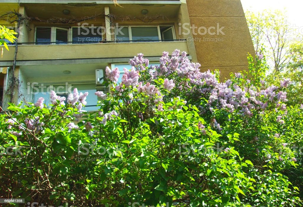 010- Blooming Lilac shrubs in a frontyard stock photo
