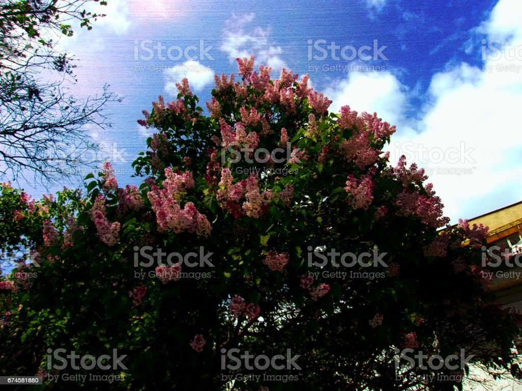 Blooming Lilac shrubs in a frontyard stock photo
