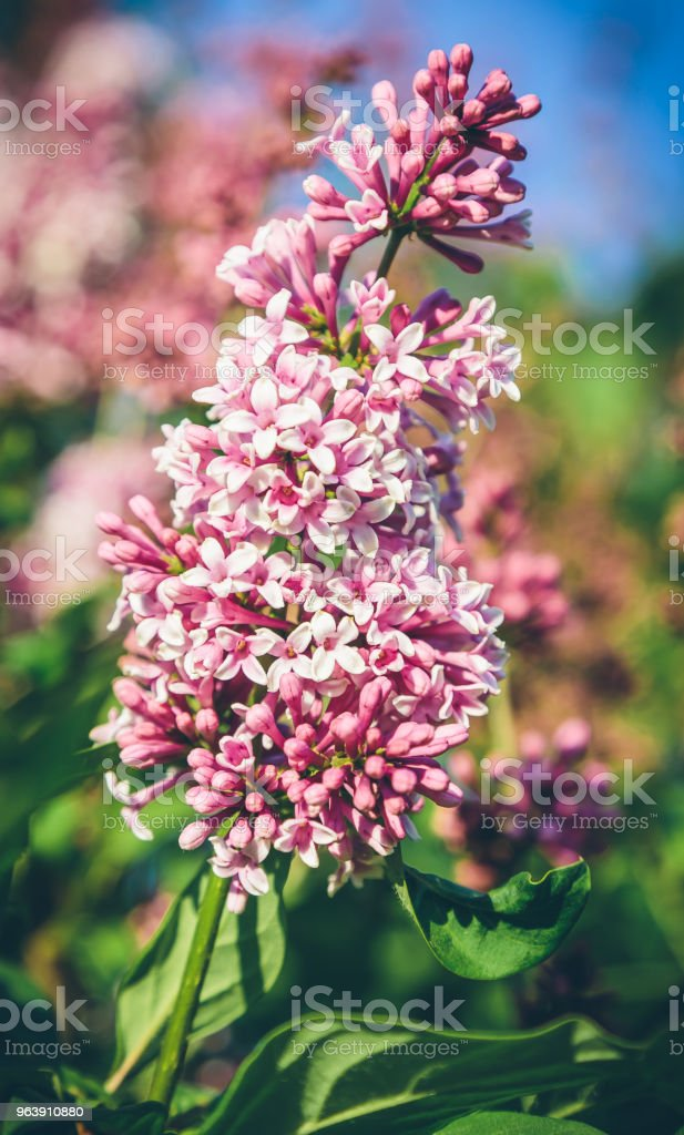 blooming lilacs in the garden - Royalty-free Agriculture Stock Photo