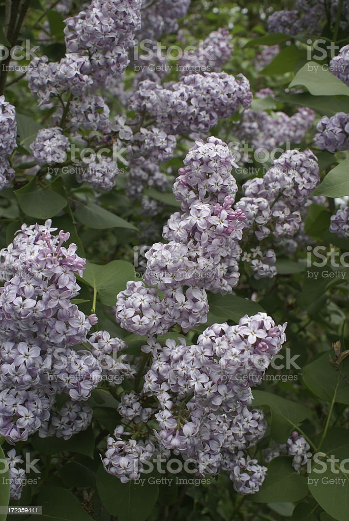 Blooming Lilacs royalty-free stock photo