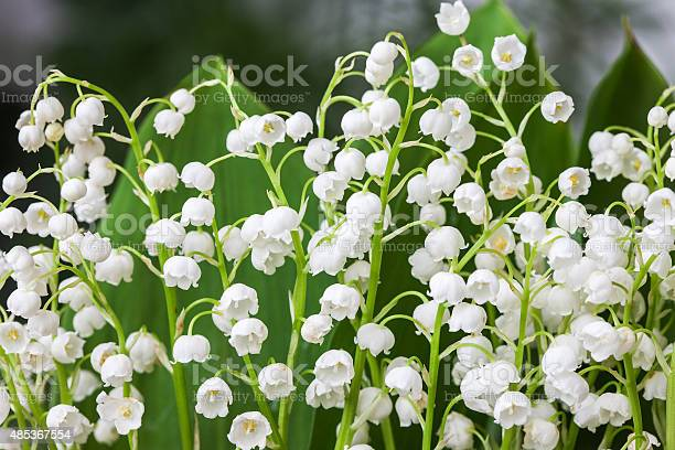 Blooming Lily Of The Valley In Spring Garden With Shallow Stock Photo - Download Image Now