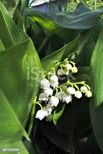 istock blooming Lily of the valley 691535394