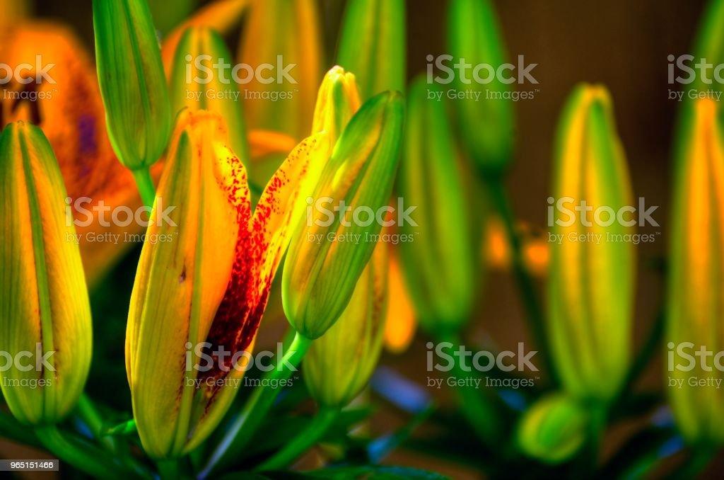Blooming Lily zbiór zdjęć royalty-free