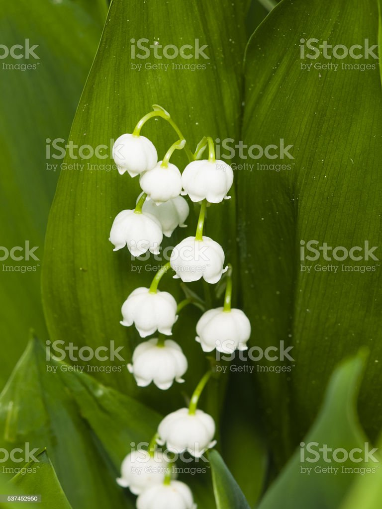 Blooming lilyofthevalley convallaria majalis flowers and leaves blooming lily of the valley convallaria majalis flowers and leaves izmirmasajfo