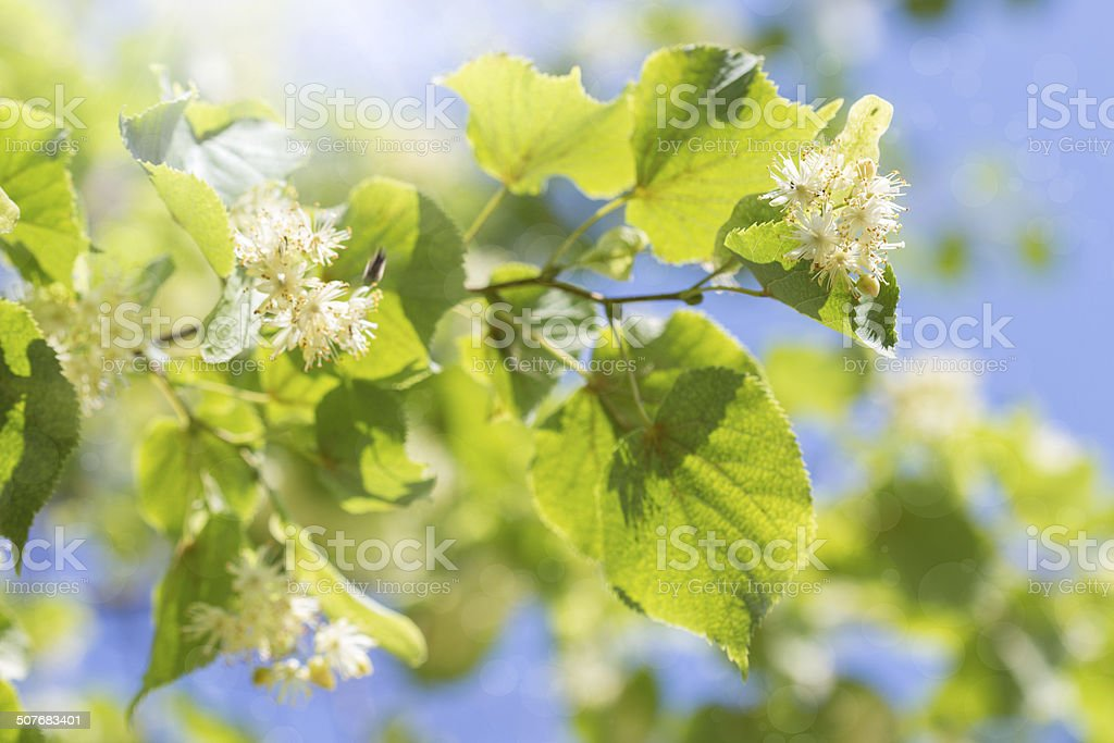 blooming linden branch against the blue sky stock photo