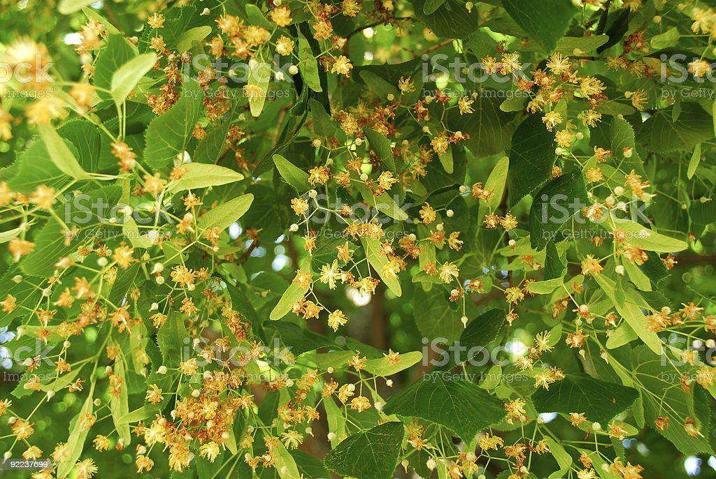 Blooming linden royalty-free stock photo