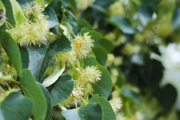 blühende linde. gärten und gärten. bäume für honigbienen. pollen und süßen duft. makro-fotografie der natur. - kastanienhonig stock-fotos und bilder