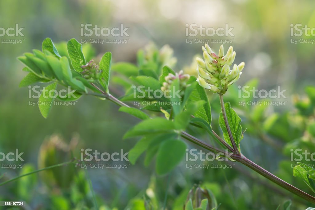Blooming liquorice milkvetch, Astragalus glycyphyllos stock photo