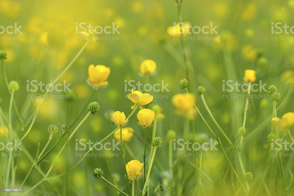 Blooming little meadow flower royalty-free stock photo