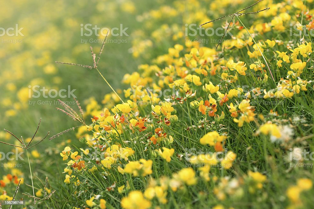 Blooming little yellow and red meadow flower royalty-free stock photo