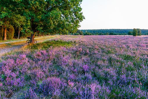 Blooming Lüneburg Heath