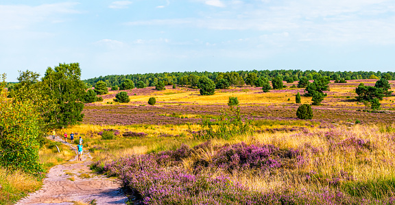 Blooming Lüneburg Heath
