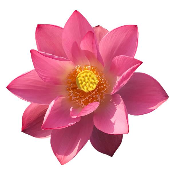 Blooming lotus flower head isolated white picture id1003998160?b=1&k=6&m=1003998160&s=612x612&w=0&h=zefpamrjfjvkyeutave njquqqdnm16qlp1rj wfbzi=
