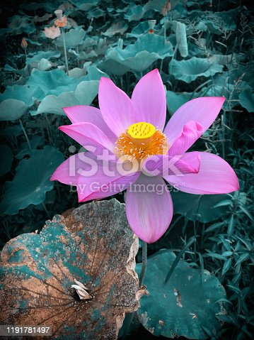Close-up of a blooming pink lotus flower in the pond