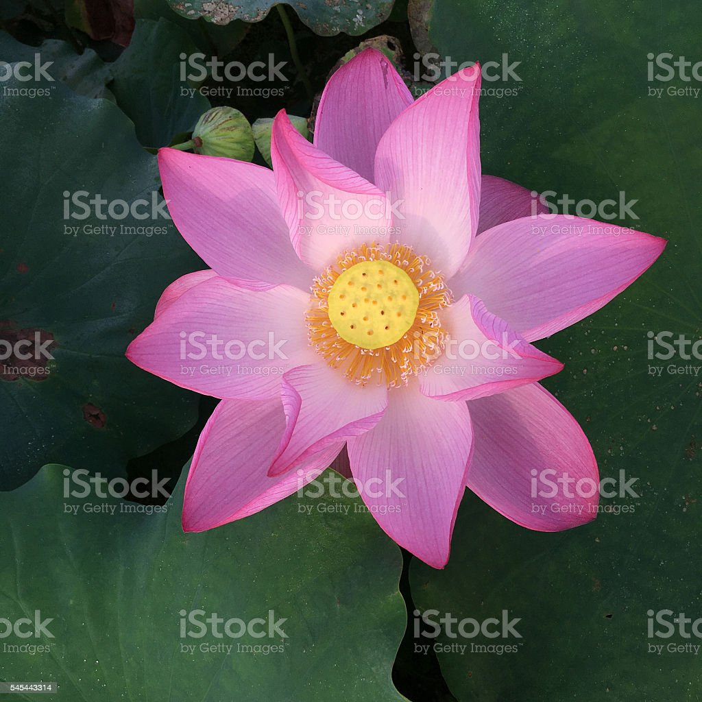 Blooming lotus flower in the pond stock photo more pictures of blooming lotus flower in the pond royalty free stock photo izmirmasajfo