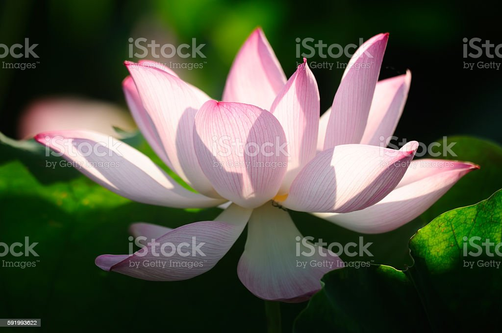 Blooming lotus flower in the pond stock photo