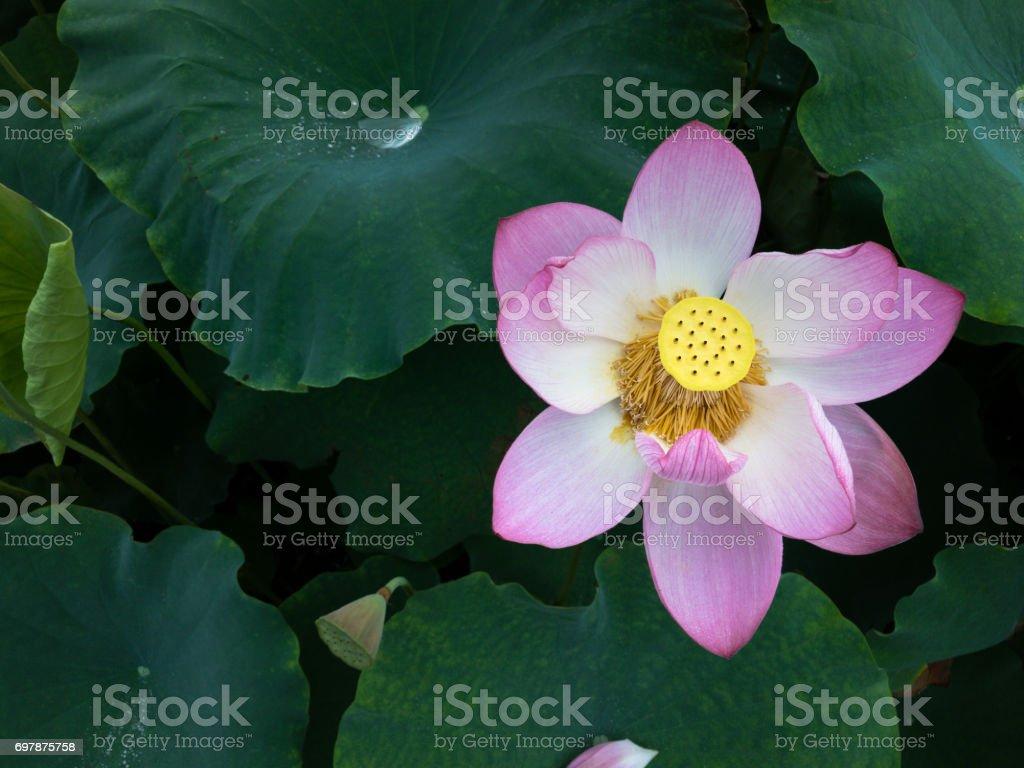 Blooming lotus flower in the pond stock photo istock blooming lotus flower in the pond royalty free stock photo izmirmasajfo