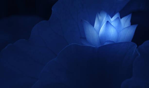 florescendo flor de lótus no lago - lotus - fotografias e filmes do acervo