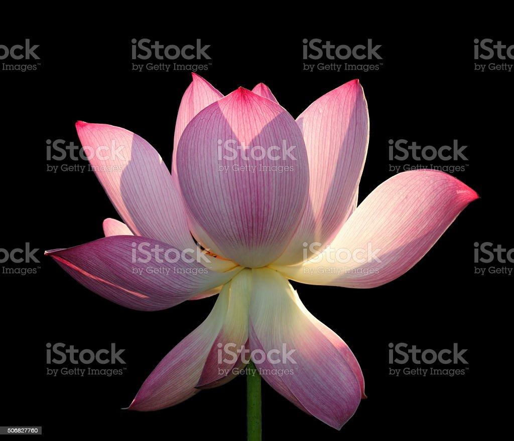 Blooming lotus flower isolated on black stock photo 506827760 istock blooming lotus flower isolated on black royalty free stock photo izmirmasajfo