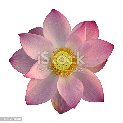 Close-up of a blooming pink lotus flower head, Isolated on white background