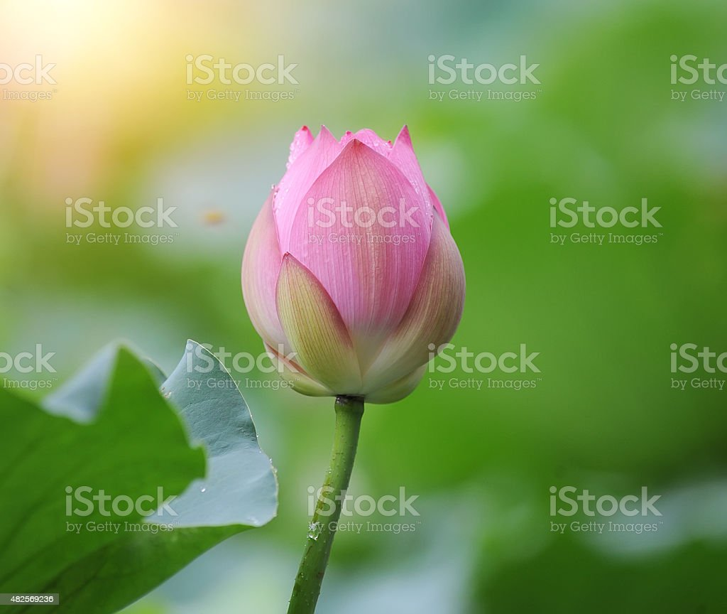 Blooming lotus flower stock photo more pictures of 2015 istock blooming lotus flower royalty free stock photo izmirmasajfo