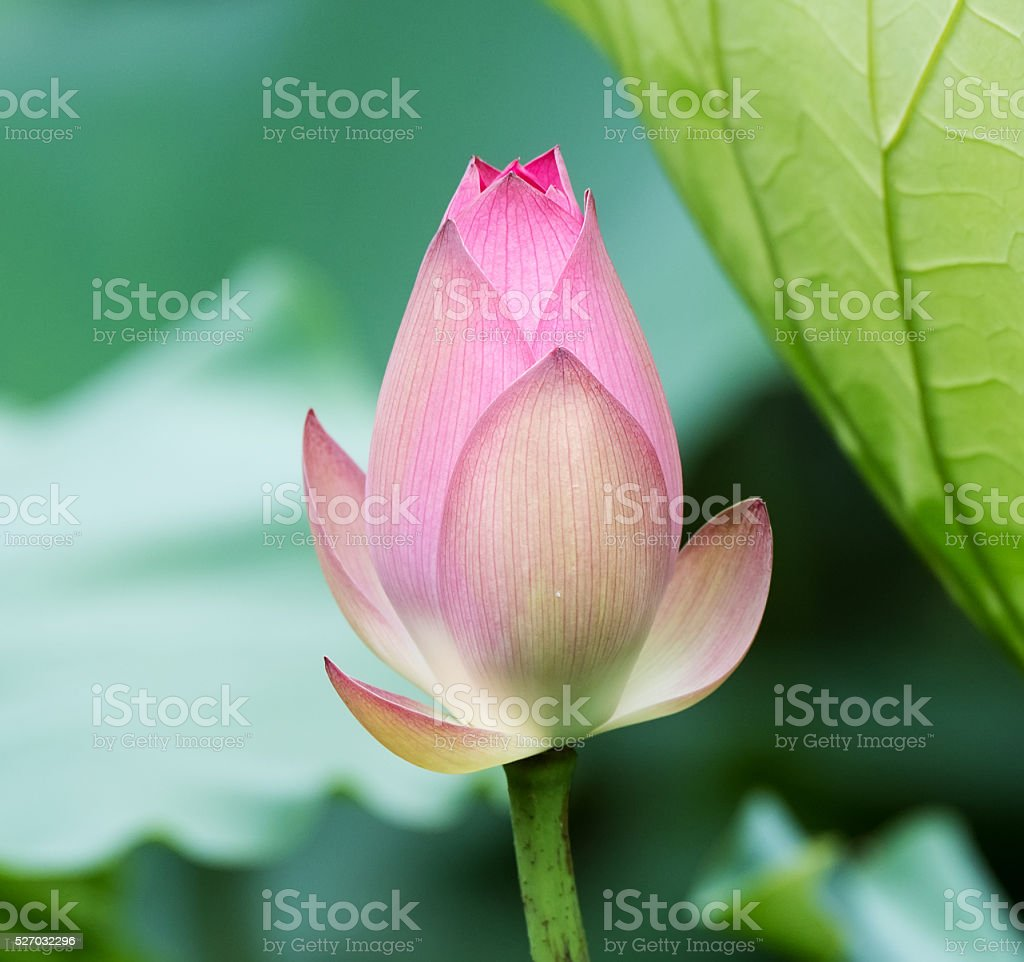 Blooming Lotus Flower Stock Photo More Pictures Of Asia Istock