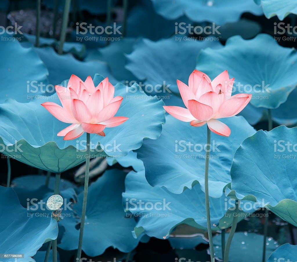 Fotografía De Florecer Flor De Loto Y Más Banco De Imágenes De