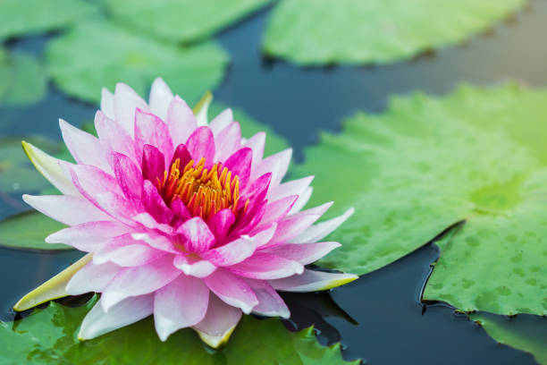 blooming lotus flower - wasserlilien stock-fotos und bilder