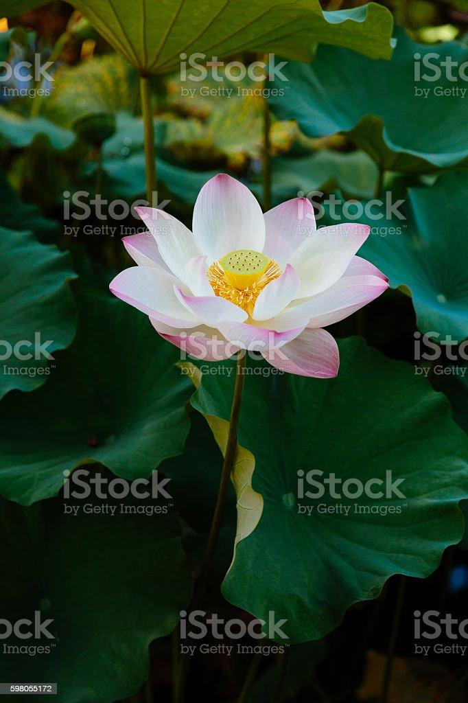 Blooming Lotus in Summer stock photo