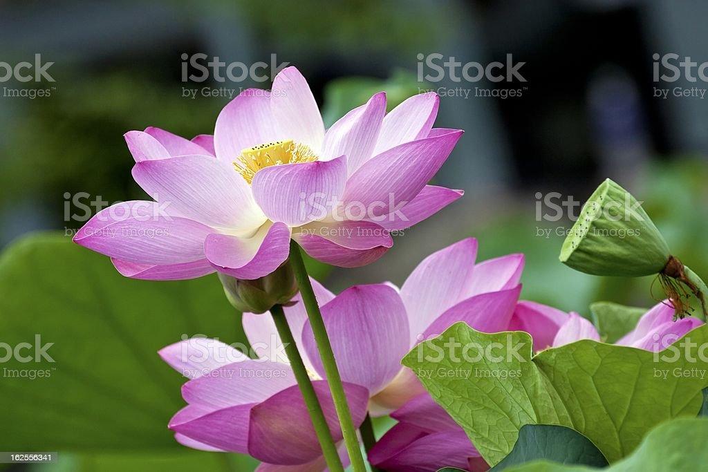 blooming lotus royalty-free stock photo