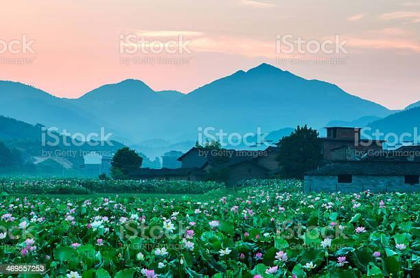 Photo of blooming lotus