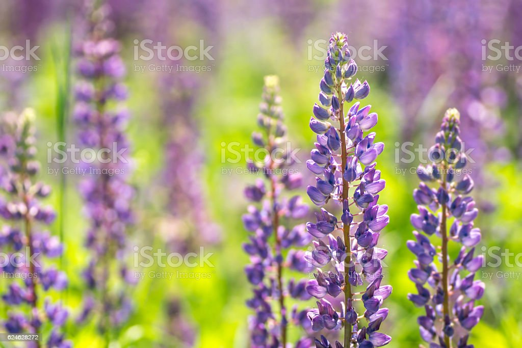 Blooming lupine flowers. A field of lupines. - foto de stock