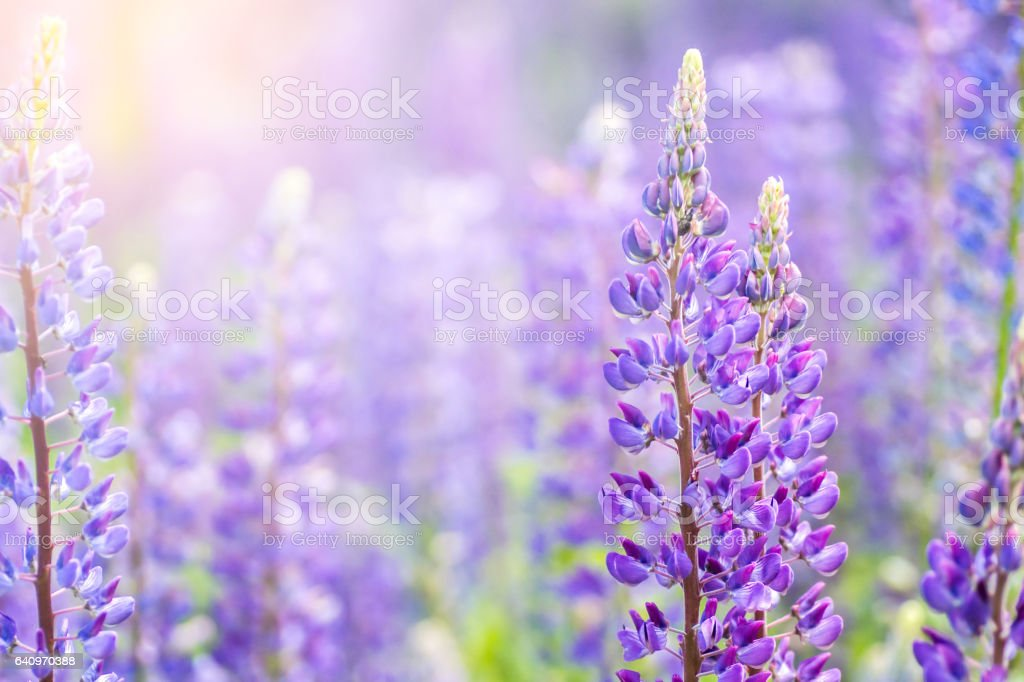 Flores flor de lupino. Un campo de lupinos. - foto de stock