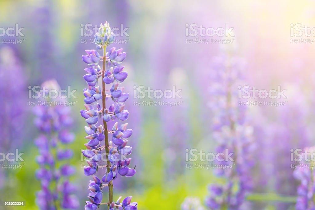 Flores flor de lupino. Un campo de lupinos. La luz del sol brilla en las plantas - foto de stock