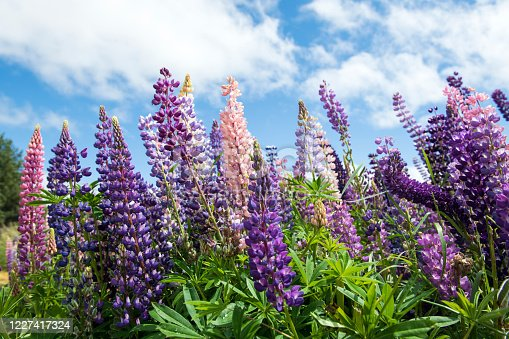 Blooming lupines on South Island, New Zealand