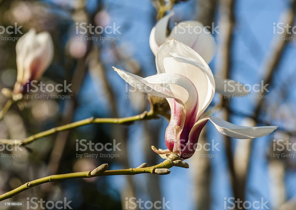 Blooming magnolia flowers royalty-free stock photo