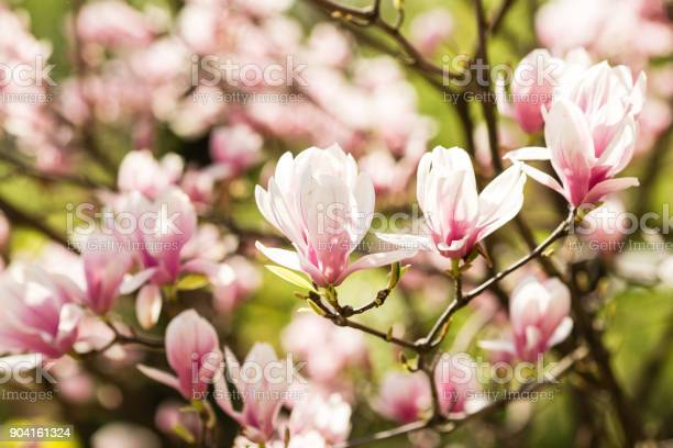 Blooming magnolia flowers picture id904161324?b=1&k=6&m=904161324&s=612x612&h=enprfjkp7vua3ay0bavhcwucvq9 tl19nee i2ojd o=