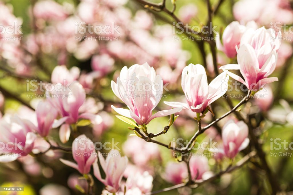 blooming magnolia flowers stock photo