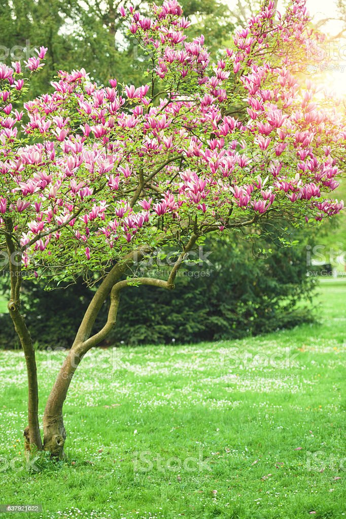 Blooming Magnolia In Spring stock photo