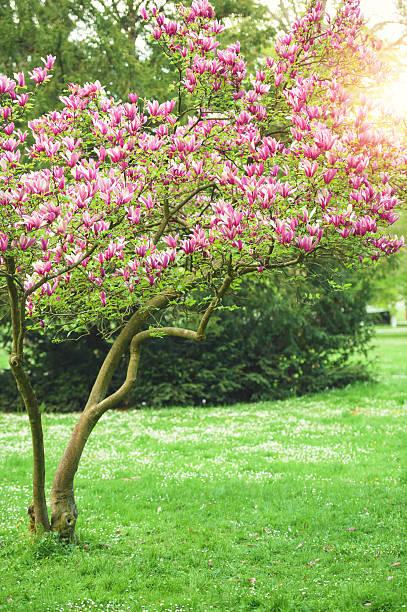 blooming magnolia in spring - magnolia стоковые фото и изображения