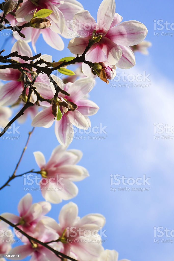 Blooming magnolia on blue sky background royalty-free stock photo