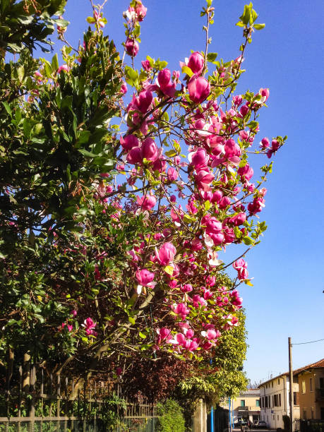 Blooming Magnolia on the street stock photo